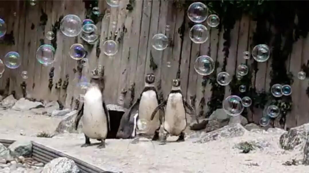 Pingwiny z zoo dostały maszynędo baniek mydlanych. Bawiły się w najlepsze