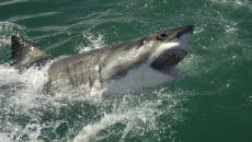 Mają dość. Chcą polować na rekiny