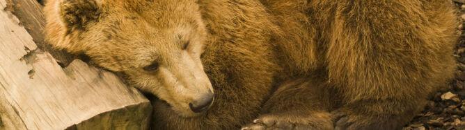 """""""Stary niedźwiedź mocno śpi"""". Ale nie w Bieszczadach"""
