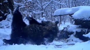 Ciężarna niedźwiedzica z rozkoszą tarzała się w śniegu