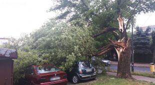 Powalone drzewa w Płocku (PetroNews)