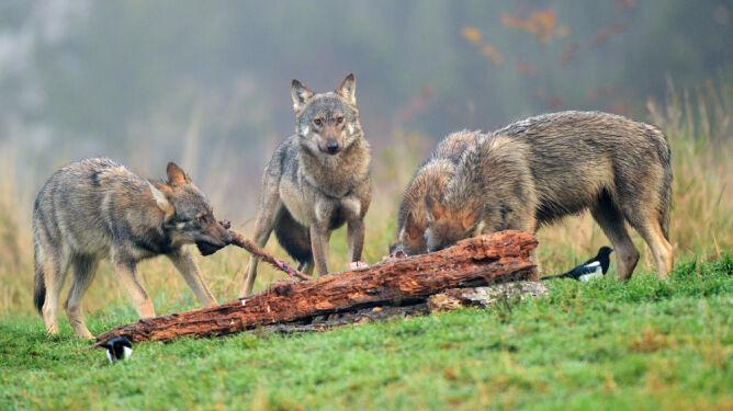 """Wilki zabiły prawie 200 zwierząt na Warmii i Mazurach. """"Powodem może być pogoda"""""""