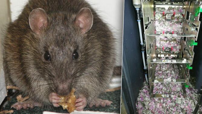 Poszatkowane banknoty w bankomacie. <br />Podejrzenie padło na szczury