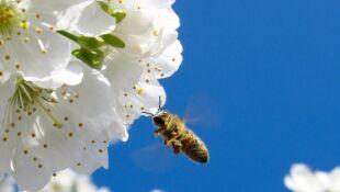 """Wiosna zaskoczyła pszczoły. """"Nie zdążyły się rozwinąć, a przyroda zrobiła to za szybko"""""""